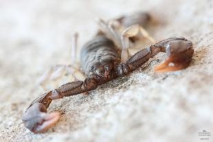 Euscorpius italicus