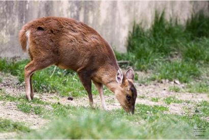 MUNTIAK DELLA CINA - (Parco Natura Viva) - (Verona) 2010 - ASIA