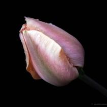 TULIPANO ROSA - PINK TULIP
